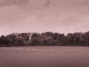 Gulls, Barrington, Cambs, October 2013