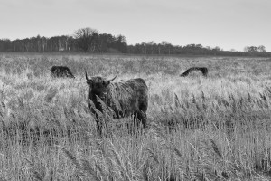 Highland cattle, Wicken Fen, January 2014