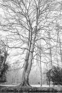 Anglesey Abbey tree 1, February 2015
